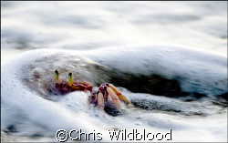 Ghost Crab in the surf. by Chris Wildblood 